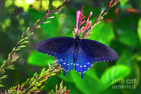 Photograph - Spicebush Swallowtail Butterfly by Carlos Diaz