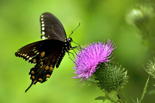 Photograph - Spicebush Swallowtail Butterfly by Christina Rollo