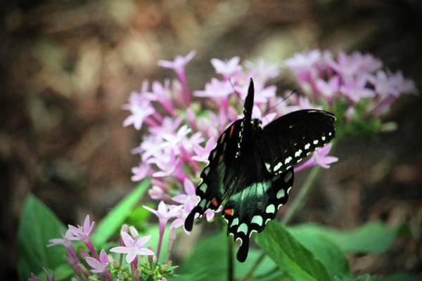 Photograph - Spicebush Swallowtail  by Cynthia Guinn