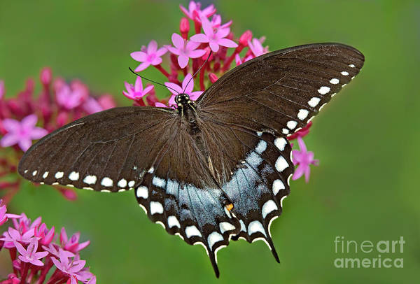 Photograph - Spicebush Swallowtail Papilio Trollus by Dave Welling