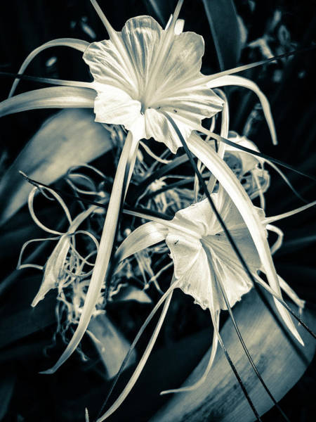 Photograph - Spider Lily by AE collections