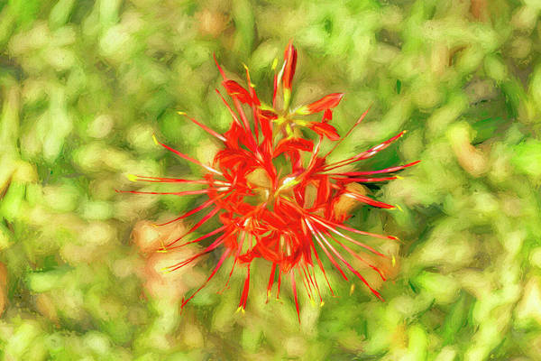 Hurricane Lily Photograph - Spider Lily Pop by Kay Brewer