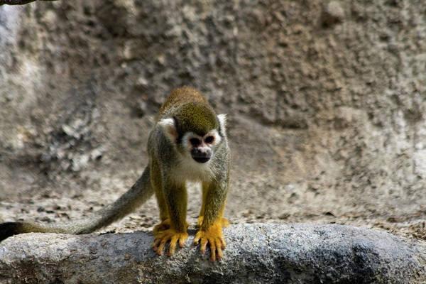 Spider Rock Photograph - Spider Monkey On Rock by Bridget Coila
