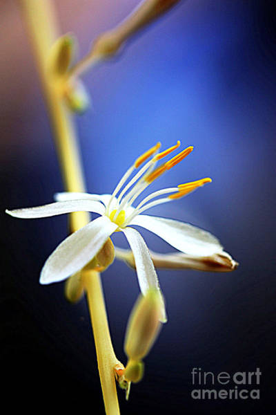 Photograph - Spider Plant Flower by Patti Whitten
