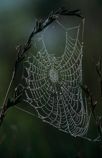 Southern Hemisphere Wall Art - Photograph - Spider Web Covered In Dew Hanging From by Heinrich Van Den Berg