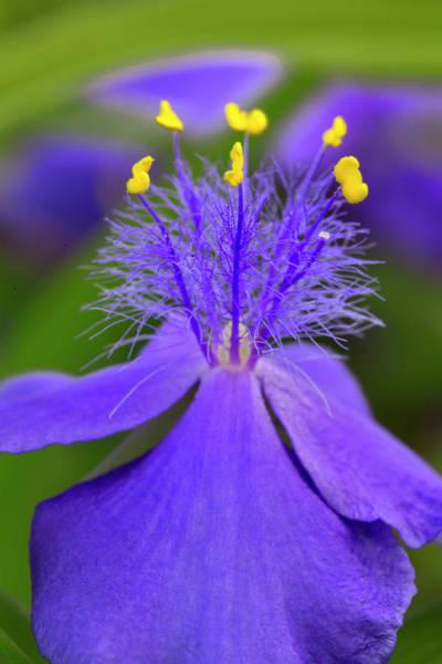 Wall Art - Photograph - Spiderwort Flower Close-up, Tradescantia by Adam Jones