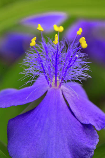 Tradescantia Photograph - Spiderwort Flower Close-up, Tradescantia by Adam Jones