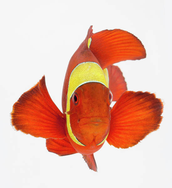 Wall Art - Photograph - Spine-cheek Anemonefish Premnas by Don Farrall
