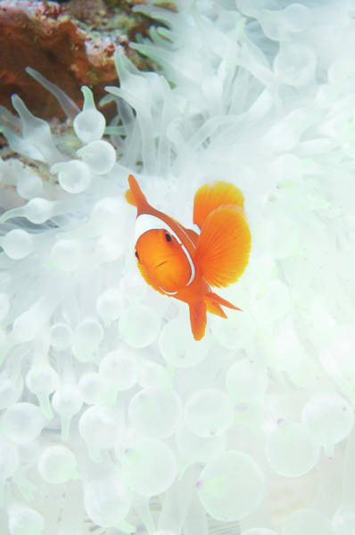 Kimbe Bay Wall Art - Photograph - Spinecheek Anemone Fish  Premnas by Apsimo1