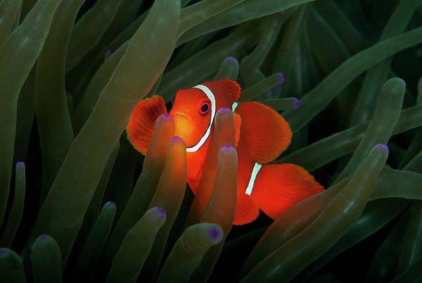 Underwater Photograph - Spinecheek Anemonefish by Alastair Pollock Photography