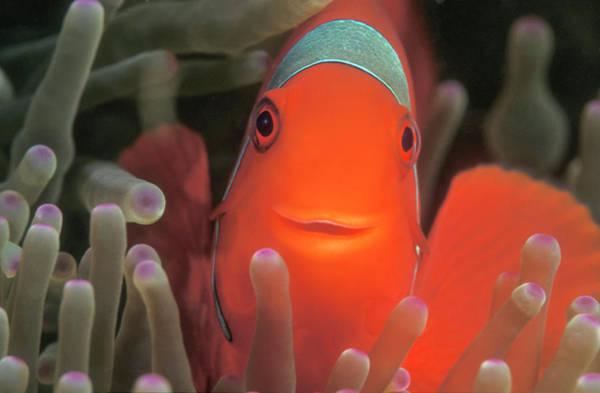Anemonefish Photograph - Spinecheek Anemonefish by Stuart Westmorland