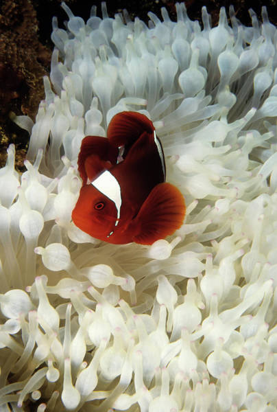 Fish Photograph - Spinecheek Clownfish In Bleached by Tammy616