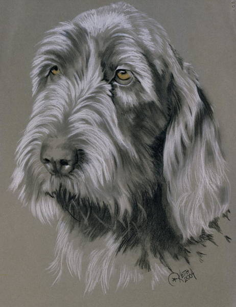 Wall Art - Mixed Media - Spinone Italiano Portrait by Barbara Keith
