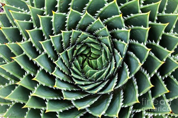 Wall Art - Photograph - Spiral Aloe-aloe Polyphylla by Gil.k