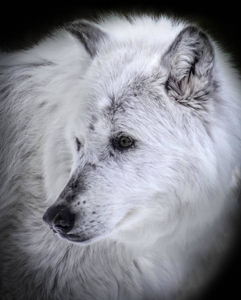 White Wolf Photograph - Spirit Of The Wild by Karen Wiles