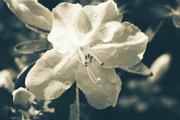 Photograph - Split Tone White Rhododendron by ProPeak Photography