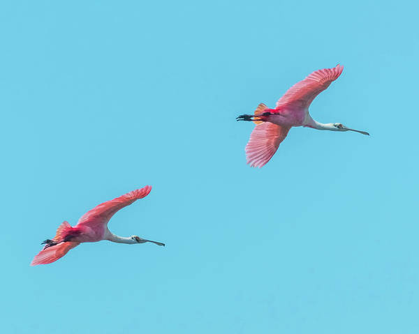 Wall Art - Photograph - Spoonbill In Flight by Christopher Cagney