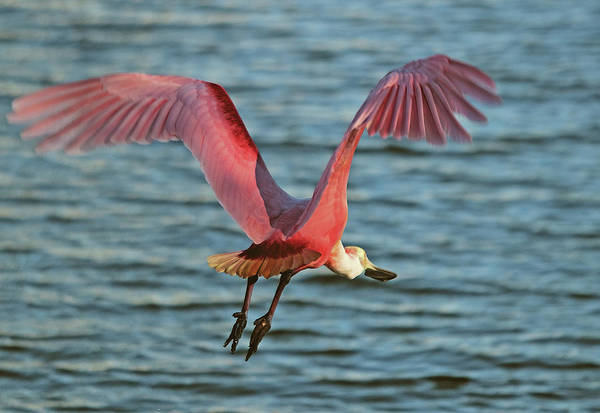 Photograph - Spoonbill Maestro  by Karl Ford