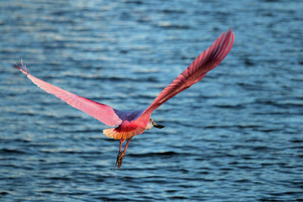 Photograph - Spoonbill Wingspan by Karl Ford