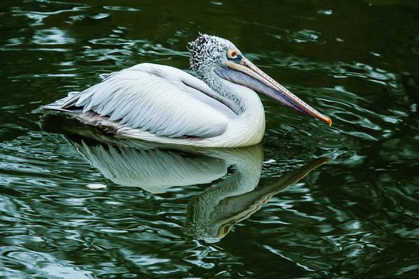 Bangalore Photograph - Spot-billed Pelican by (c) Niranj Vaidyanathan V.niranj@gmail.com
