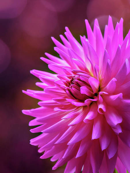 Photograph - Spotlight On Dahlia by Mary Jo Allen