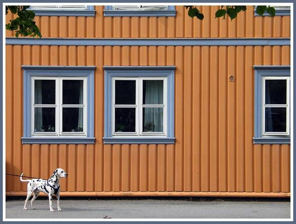 Dalmatian Dog Photograph - Spots And Stripes by Shelouise Campbell