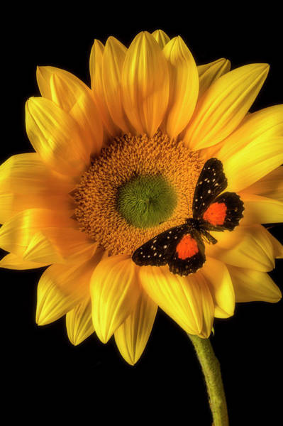 Photograph - Spotted Butterfly On Sunflower by Garry Gay