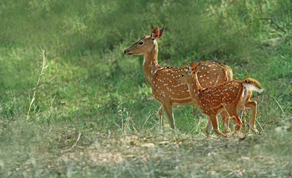 Fawn Photograph - Spotted Deer by ©anaytarnekar