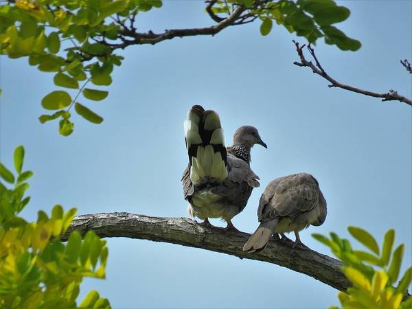 Wall Art - Photograph - Spotted Doves Pair by Joan Stratton
