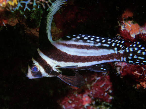 Photograph - Spotted Drum by Jean Noren