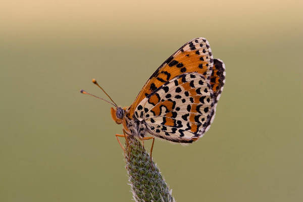 Wall Art - Photograph - Spotted Fritillary by David Hosking