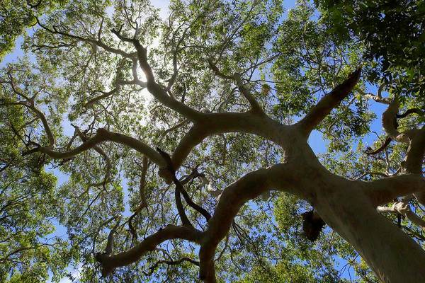 Photograph - Spotted Gum by Sarah Lilja