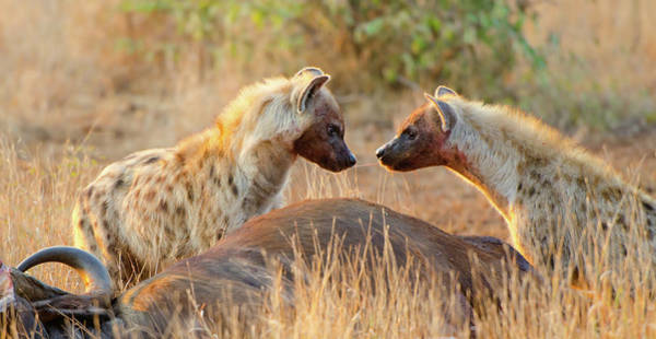 Killing Wall Art - Photograph - Spotted Hyena Sharing Food -south Africa by Birdimages