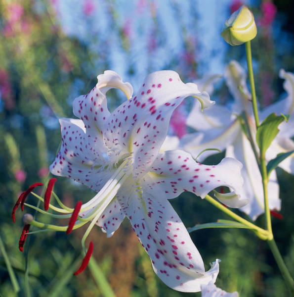 Spotted Lily Lilium Art Print