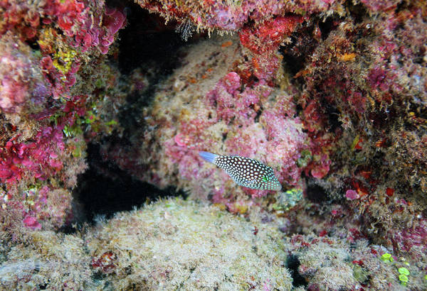 Photograph - Spotted Puffer by Anthony Jones