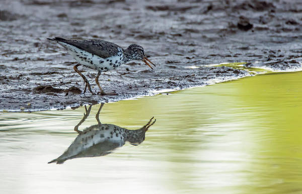 Photograph - Spotted Sandpiper 8804-042819 by Tam Ryan