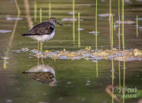 Photograph - Spotted Sandpiper Reflection by Tom Claud