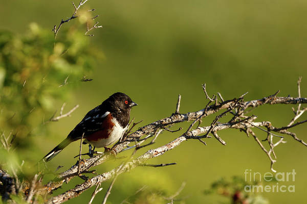 Photograph - Spotted Towhee by Beve Brown-Clark Photography