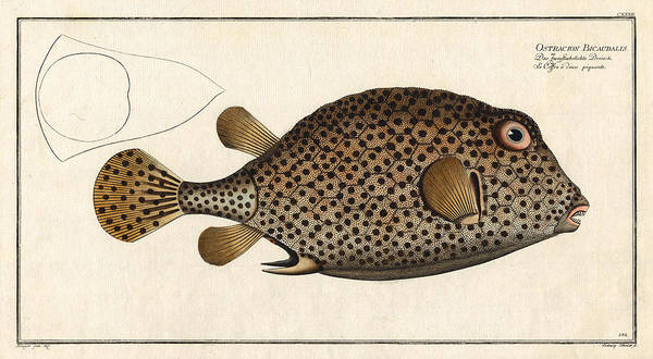 Reef Diving Digital Art - Spotted Trunk Fish  by Antique Images