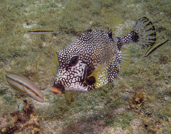 Photograph - Spotted Trunkfish by Jean Noren