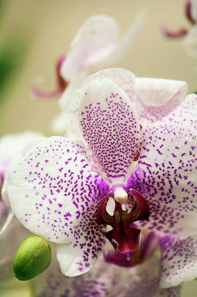 Rockville Photograph - Spotted White And Red Phalaenopsis by Maria Mosolova