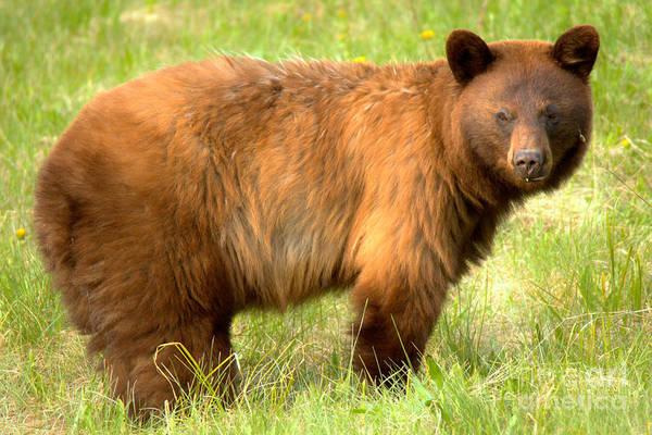 Photograph - Spray Lake Black Bear Sow by Adam Jewell