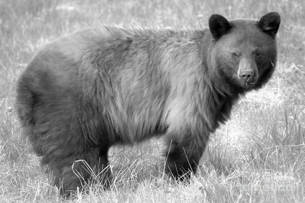 Photograph - Spray Lake Black Bear Sow Black And White by Adam Jewell