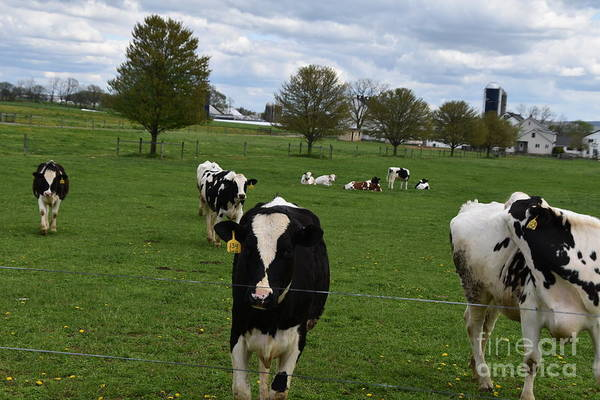 Photograph - Spring Afternoon With Cows In The Amish Country by Christine Clark