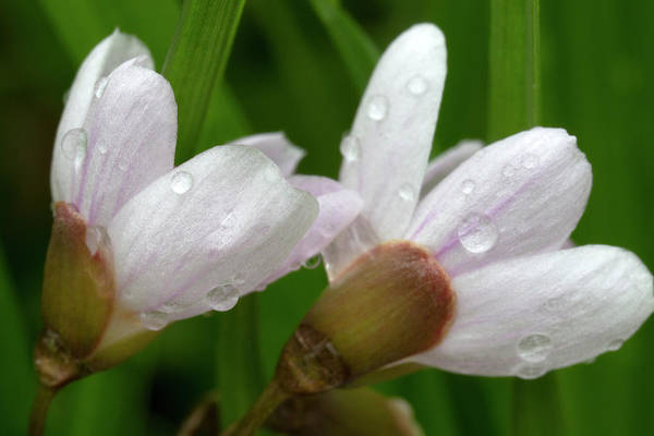 Photograph - Spring Beauties With Raindrops 5061901 by Rick Veldman