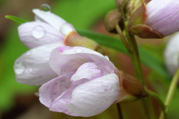 Photograph - Spring Beauties With Raindrops 5061904 by Rick Veldman