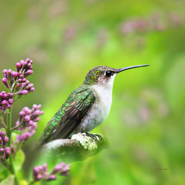 Photograph - Spring Beauty Hummingbird Square by Christina Rollo