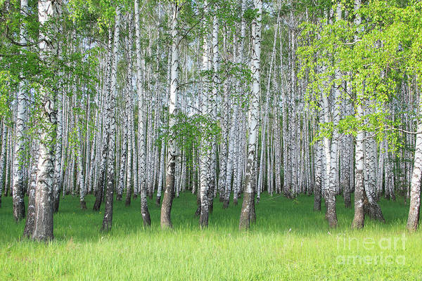 Tree Bark Wall Art - Photograph - Spring Birch Grove by Kirillov Alexey