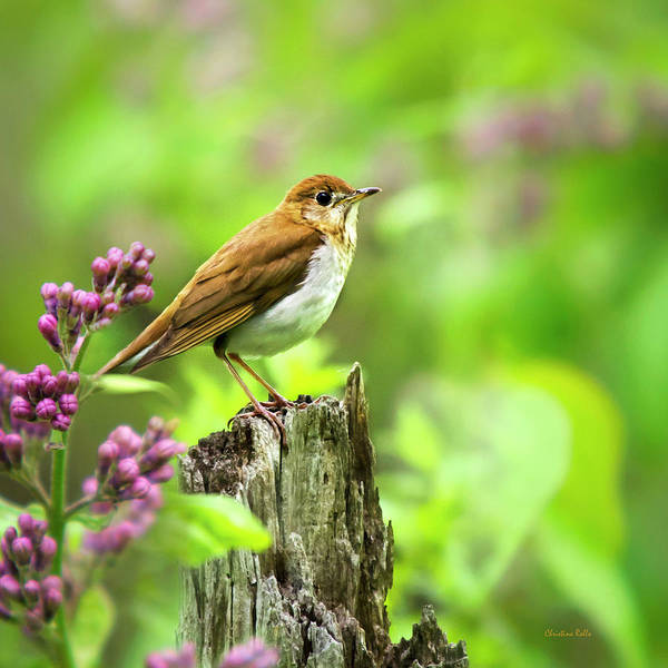 Photograph - Spring Bird Veery Square by Christina Rollo