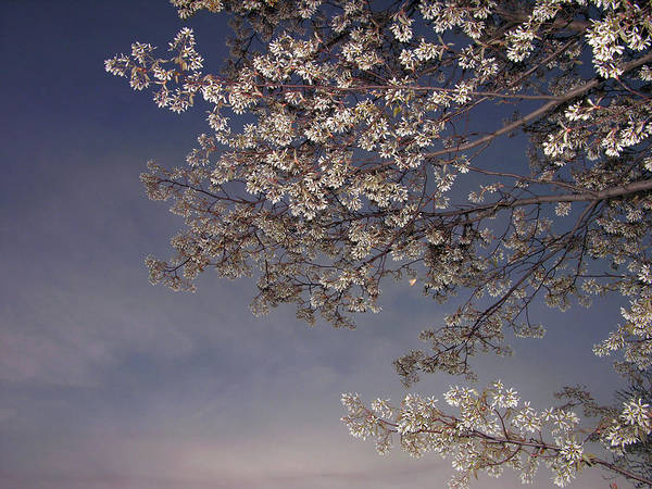 Vermont Photograph - Spring Blossoms Against Evening Sky by Ernest Mcleod